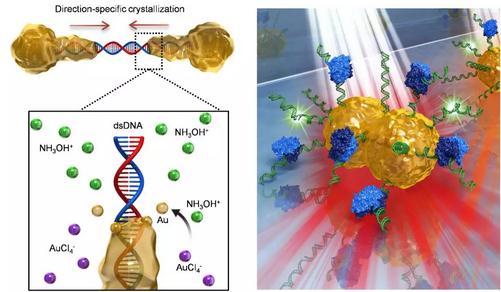 利用DNA分子调控合成的高灵敏金纳米颗粒实现基因突变的识别诊断