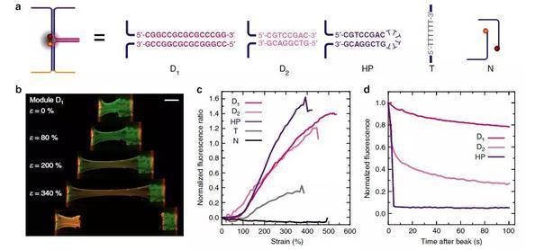 机械荧光材料:可编辑的力致荧光响应DNA水凝胶