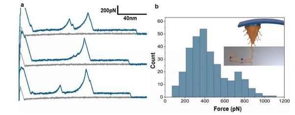 pDA薄膜主要是由共价键连接的高分子量聚合物链组成的
