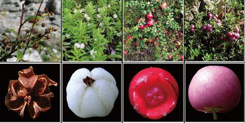 果实颜色如何影响植物进化和分布格局?