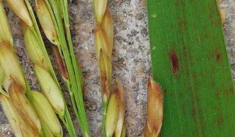 水稻真菌、细菌性病害、线虫病、病毒病发生规律和防治技术研究进展