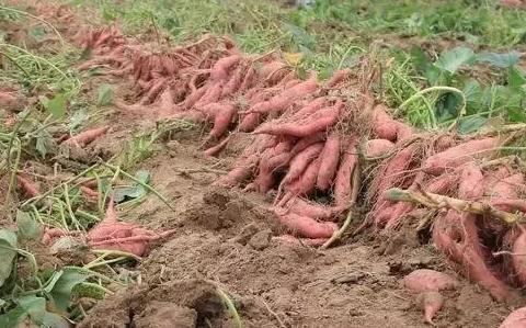 红薯如何保存一年?红薯怎样大量存放不坏?