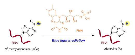 首次实现化学小分子对RNA表观遗传修饰的直接干预