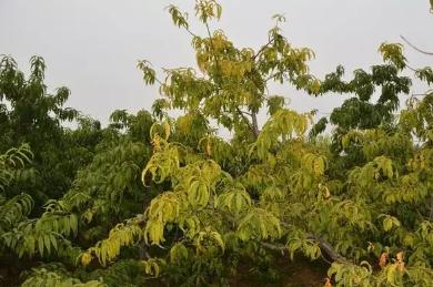 桃树黄化死树原因、症状及解决措施