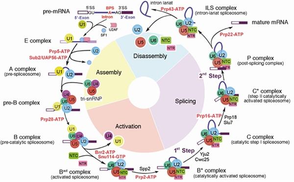 催化激活状态的酵母剪接体结构揭示RNA剪接分支反应机理