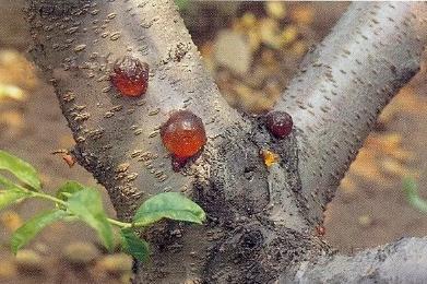 桃树流胶病怎么防治?