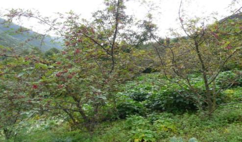 花椒间作大豆复合系统有利于应对极端降雨的负面干扰