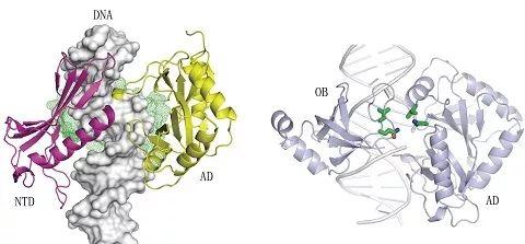 """解析非洲猪瘟病毒DNA修复通路上基因""""针线的结构"""