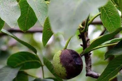 核桃青果变黑原因分析及防治对策