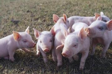 2019年中国养猪业趋势分析