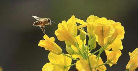 氟吡呋喃酮与丙环唑混用会杀死蜜蜂
