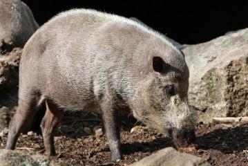 五一后猪价预测分析