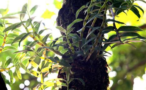铁皮石斛的种植解决贵州喀斯特石漠化治理难题