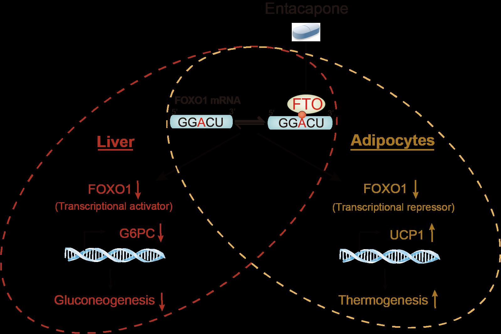 北京基因组发现恩他卡朋能直接结合FTO并抑制其m6A去甲基化酶活性