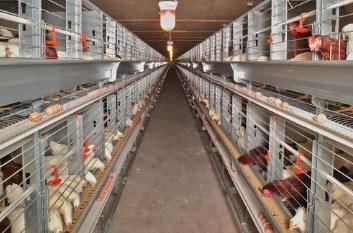 鸡产蛋前打什么疫苗?蛋鸡开产前需要注意什么