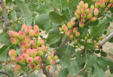 开心果是什么树的果实?基因揭示开心果的起源与驯化机制