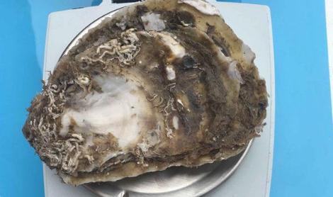 近江牡蛎在乳山养殖成功,实现近江牡蛎人工养殖全链条构建
