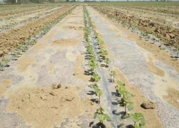 棉花的膜下滴灌技术及滴灌注意事项