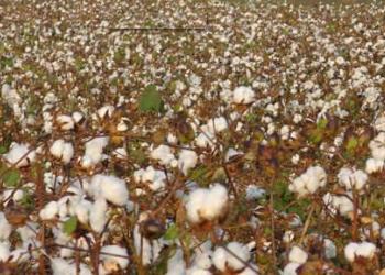 重播棉田的减产原因及田间管理方法