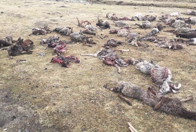 甘德县下藏科乡牧民家151只羊一夜之间惨遭野生狼群祸害