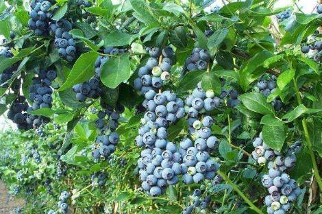 种蓝莓赚钱吗?哪个省份适合种植蓝莓?
