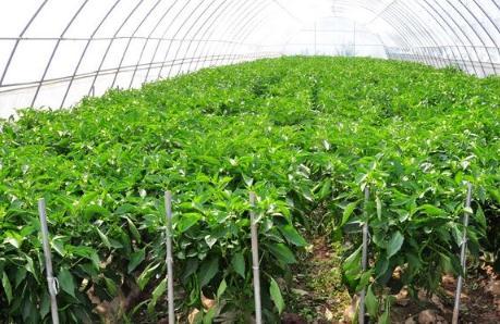 大棚种植技术:杨清春成立高蛋白植物研究院和蔬菜技术研发中心