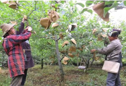 苹果树如何防治关键病虫?