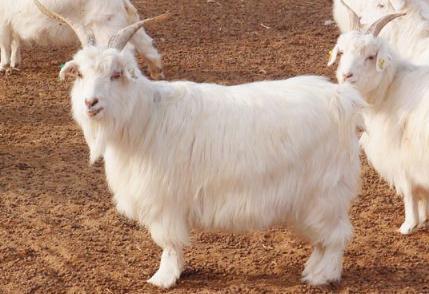 绒山羊光控增绒技术提高绒毛产量和长度