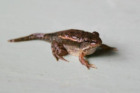 单细胞基因组学揭示出蝌蚪尾巴再生时不同细胞的变化