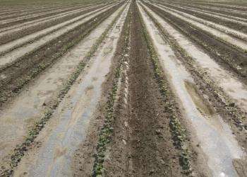 2019年棉花田除草剂药害和死苗问题解析