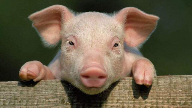 哈尔滨兽医研究所成功创制非洲猪瘟候选疫苗