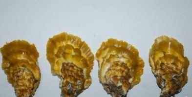 """长牡蛎""""海大2号""""——李琪团队历时八年选育的我国第一个高端牡蛎品种"""