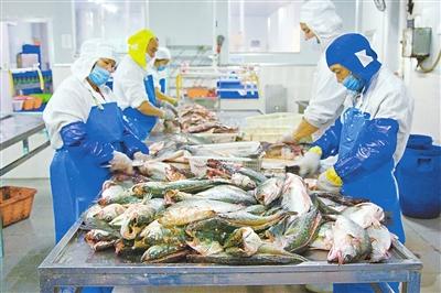 """广东省珠海市完善海鲈产业可追溯系统,打造""""白蕉海鲈""""品牌"""