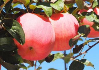 2019年前4个月苹果价格暴涨,4月份最高涨幅达11.9%