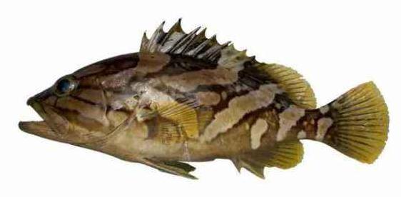 """黄海水产研究所完成""""石斑鱼种质库和远缘杂交育种技术创建及产业化应用""""项目"""