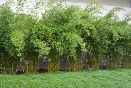 中科院昆明植物研究所揭示木本竹类异源多倍化的起源历史