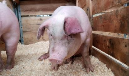 25省区非洲猪瘟疫区全部解除封锁,非洲猪瘟加速生猪产能去化