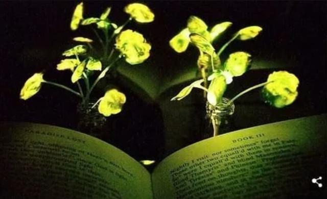 植物可不可以也像萤火虫一样发光呢?