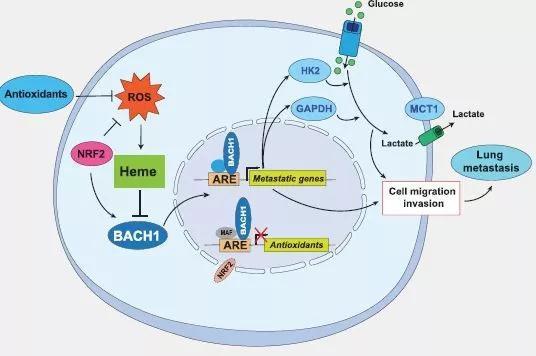 抗氧化保健品能促进肺癌发生转移