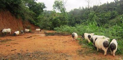 广西推进畜禽生态养殖的目标要求及思路