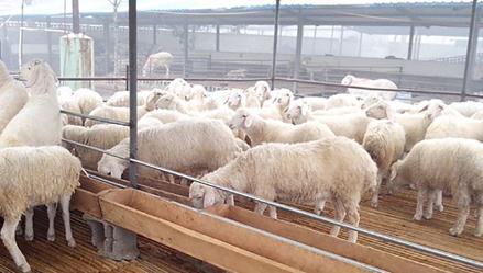 孝感市羊布鲁氏菌病净化进展与发展建议