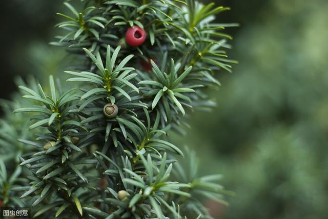 神秘树皮中提取的紫杉醇,可以成为癌细胞烂尾的抗肿瘤药