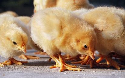 鸡肉与猪肉之间的替代效应凸显,鸡苗价格反弹促利润