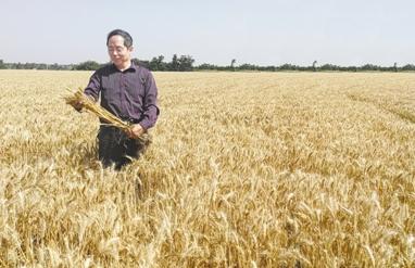 """吉万全团队培育""""西农511""""小麦良种,创下了陕西省小麦新品种转让费之最"""