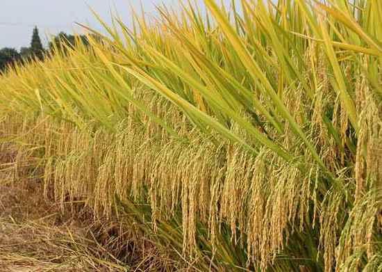 中国超级杂交稻在人类反饥饿史上书写了光辉的一页