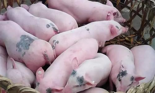 ?國務院辦公廳印發《關于穩定生豬生產促進轉型升級的意見》