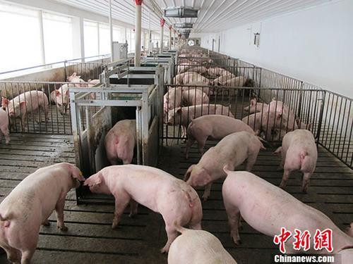 全力破解生豬養殖環保問題,明確禁止借環保名義打壓養殖業