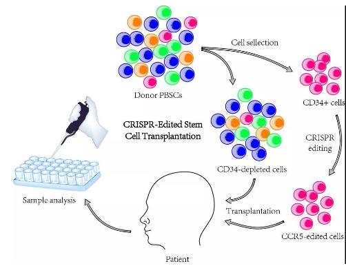 我国科学家利用基因编辑治疗艾滋病和白血病