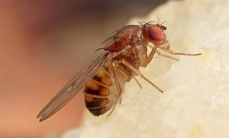 """科学家培育出对有毒植物产生抗性的""""超级果蝇"""""""
