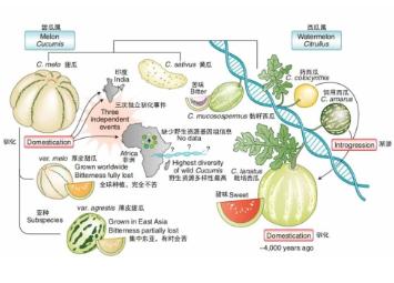 西瓜甜瓜是怎么变甜的?我国科学家首次揭开西瓜甜瓜驯化史